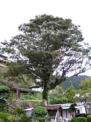 Kumano Nachi Taisha Shrine / Ruin of Jippoin and Great Cleyera Tree