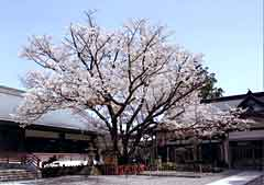 Kumano Nachi Taisha Shrine / Hidehira Cherry Tree