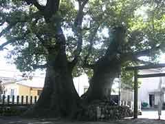 Camphor Tree at Kumano Sansho Omiwayashiro Shrine