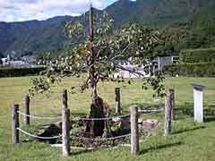 Old Persimmon Tree (Fudaraku Cemetery)