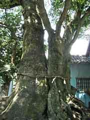 Horutonoki Tree and Camphor Tree (Ten jinjya Shrine)