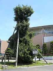 うばめ樫の木(体育文化会館)