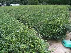 Irokawa Tea