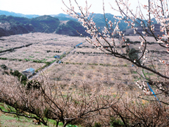 Iwashiro Large Plum Orchard