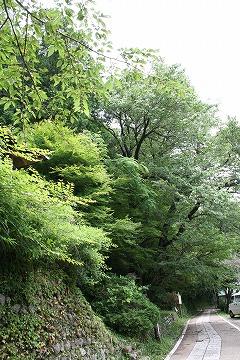 The Hidehira Cherry Tree