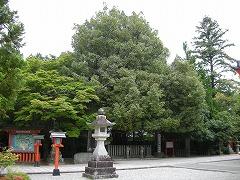 The Nagi Tree of Kumano Hayatama Taisha